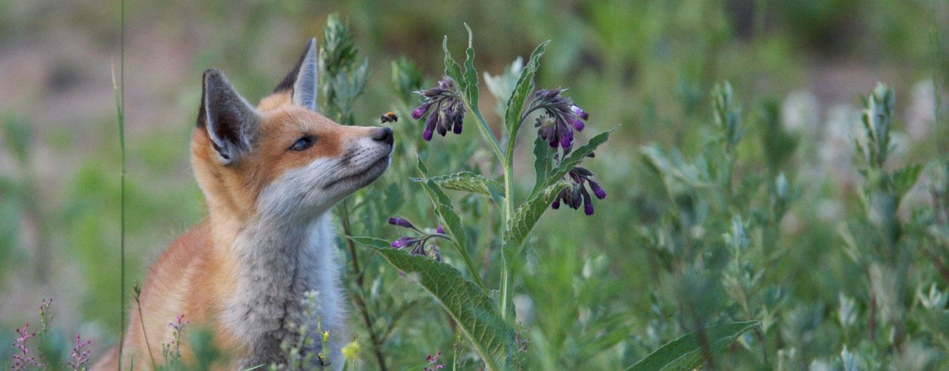Fuchs im Nationalpark, Mecklenburgische Seenplatte